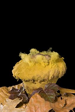 Skull-shaped Puffball (Calvatia craniiformis) releasing spores. Sequence 2 of 3  -  Steve Gettle