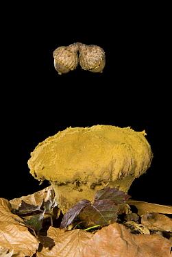 Skull-shaped Puffball (Calvatia craniiformis) with falling acorns. Sequence 1 of 3  -  Steve Gettle