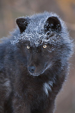 Gray Wolf (Canis lupus) melanistic individual dusted in snow, North America  -  Steve Gettle