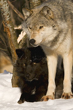 Gray Wolf (Canis lupus) pair including melanistic individual, North America  -  Steve Gettle