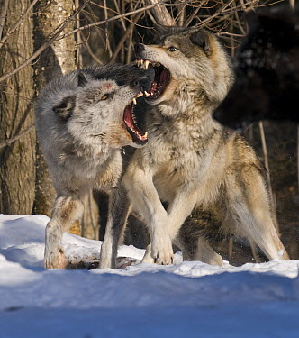 Gray Wolf (Canis lupus) pair fighting in snow, North America  -  Steve Gettle