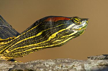 Red-eared Slider (Trachemys scripta elegans) turtle, North America  -  Steve Gettle