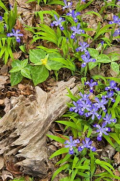 Dwarf Crested Iris (Iris cristata) and trillium on forest floor, Great Smoky Mountains National Park, Tennessee  -  Steve Gettle