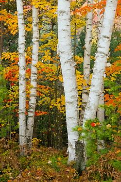 Birch (Betula sp) trunks in autumn, Michigan  -  Steve Gettle