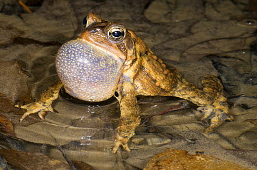 American Toad (Bufo americanus) calling, Huron Meadows Metropark, Michigan  -  Steve Gettle