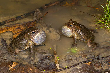 American Toad (Bufo americanus) males calling to defend territory, Huron Meadows Metropark, Michigan  -  Steve Gettle