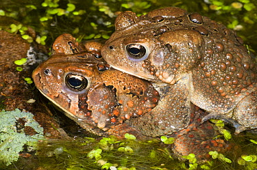 American Toad (Bufo americanus) pair in amplexus, Huron Meadows Metropark, Michigan  -  Steve Gettle