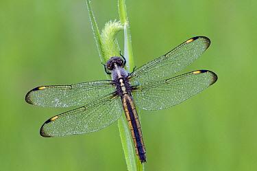 Spangled Skimmer (Libellula cyanea) dragonfly female, North America  -  Steve Gettle