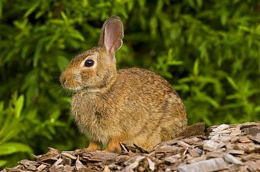 Cottontail Rabbit (Syvilagus sp), Connecticut  -  Steve Gettle