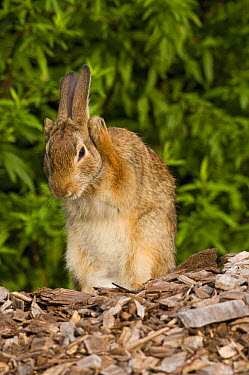 Cottontail Rabbit (Sylvilagus sp) grooming, Connecticut  -  Steve Gettle
