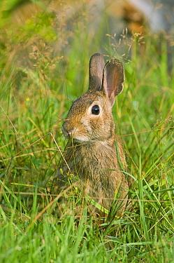 Cottontail Rabbit (Sylvilagus sp) in green grass, Connecticut  -  Steve Gettle