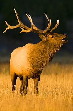 Elk (Cervus elaphus) bull bellowing, Yellowstone National Park, Wyoming  -  Steve Gettle
