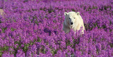 Polar Bear (Ursus maritimus) in a field of Fireweed (Chamerion angustifolium), Hudson Bay, Canada  -  Matthias Breiter