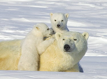 Polar Bear (Ursus maritimus) mother and three-month-old cubs, Wapusk National Park, Manitoba, Canada  -  Matthias Breiter
