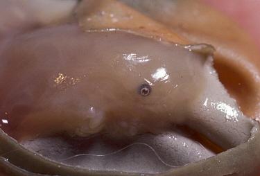 Short-beaked Echidna (Tachyglossus aculeatus) developing fetus, Australia  -  D. Parer & E. Parer-Cook