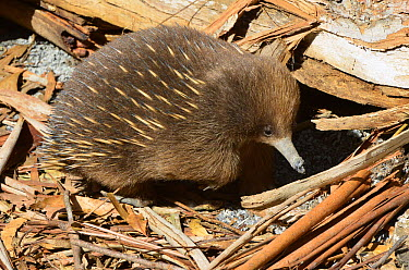 Short-beaked Echidna (Tachyglossus aculeatus) foraging for insects, Tasmania, Australia  -  D. Parer & E. Parer-Cook