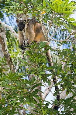 Lumholtz's Tree-Kangaroo, (Dendrolagus lumholtzi) climbing in Queensland Silver Ash (Flindersia bourjotiana), Atherton Tableland, Queensland, Australia  -  D. Parer & E. Parer-Cook