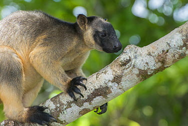 Lumholtz's Tree-Kangaroo, (Dendrolagus lumholtzi), male foraging for lichen or bark in Queensland Silver Ash (Flindersia bourjatiana), Atherton Tableland, Queensland, Australia,  -  D. Parer & E. Parer-Cook