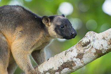 Lumholtz's Tree-Kangaroo, (Dendrolagus lumholtzi) male in Queensland Silver Ash (Flindersia bourjatiana), Atherton Tableland, Queensland, Australia  -  D. Parer & E. Parer-Cook