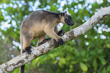 Lumholtz's Tree-Kangaroo, (Dendrolagus lumholtzi) walking on Queensland Silver Ash (Flindersia bourjatiana) branch, Atherton Tableland, Queensland, Australia  -  D. Parer & E. Parer-Cook
