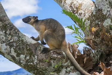 Lumholtz's Tree-Kangaroo, (Dendrolagus lumholtzi) near base of Queensland Silver Ash (Flindersia bourjotiana), Atherton Tableland, Queensland, Australia  -  D. Parer & E. Parer-Cook