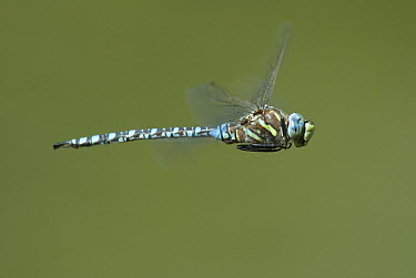 Paddle-tailed Darner (Aeshna palmata) dragonfly flying, Logan Canyon, Utah  -  Jan Luit/ Buiten-beeld