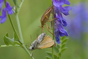 Short-spined Soldier Beetle (Podisus modestus) with butterfly prey, Murillo, Canada  -  Jan Luit/ Buiten-beeld