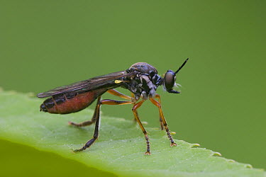 Robber Fly (Dioctria atricapilla), Rijssen, Netherlands  -  Arjan Troost/ Buiten-beeld