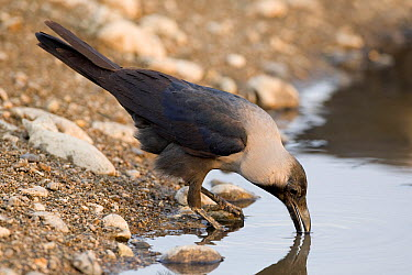 House Crow (Corvus splendens) drinking, Sohar, Oman  -  Daniele Occhiato/ Buiten-beeld