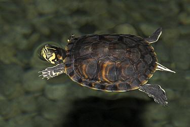 Cumberland Slider (Trachemys scripta troostii) swimming, Netherlands  -  Jelger Herder/ Buiten-beeld