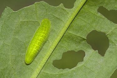 Large Copper (Lycaena dispar) caterpillar, Netherlands  -  Klaas van Haeringen/ Buiten-beel