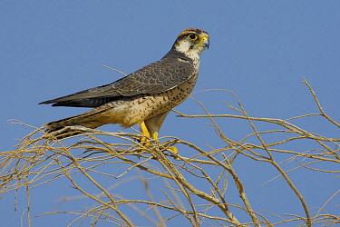 Lanner Falcon (Falco biarmicus), Marsa Alam, Egypt  -  Daniele Occhiato/ Buiten-beeld