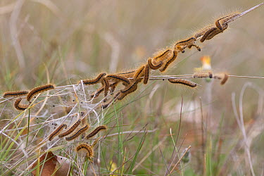 Ground Lackey Moth (Malacosoma castrense) caterpillars, Veluwe, Netherlands  -  Bart Wullings/ Buiten-beeld