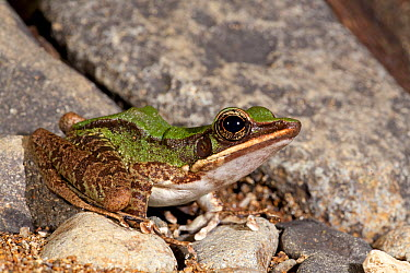 Hose's Frog (Rana hosii), Tawau Hills Park, Sabah, Borneo, Malaysia  -  Jelger Herder/ Buiten-beeld