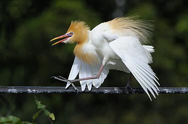 Cattle Egret (Bubulcus ibis) displaying in breeding plumage, Ubud, Indonesia  -  Natalia Paklina/ Buiten-beeld