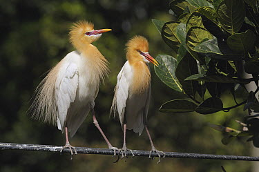 Cattle Egret (Bubulcus ibis) pair courting, Ubud, Indonesia  -  Natalia Paklina/ Buiten-beeld