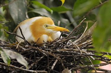 Cattle Egret (Bubulcus ibis) on nest, Ubud, Indonesia  -  Natalia Paklina/ Buiten-beeld