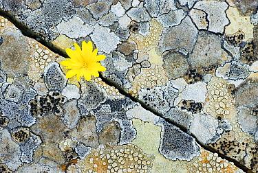 Hyoseris (Hyoseris radiata) flower growing from rock, Menorca, Spain  -  Misja Smits/ Buiten-beeld