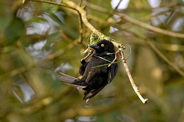 Vieillot's Black Weaver (Ploceus nigerrimus) male weaving nest, Kibale Forest, Uganda  -  Luc Hoogenstein/ Buiten-beeld