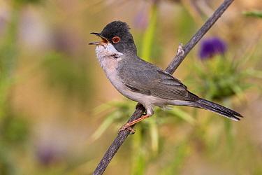 Menetries's Warbler (Sylvia mystacea) male calling, Sanliurfa, Turkey  -  Daniele Occhiato/ Buiten-beeld