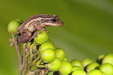 Red-snouted Treefrog (Scinax ruber), Brownsberg Nature Park, Suriname  -  Jelger Herder/ Buiten-beeld