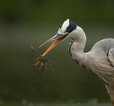 Grey Heron (Ardea cinerea) catching Louisiana Crayfish (Procambarus clarkii), Amsterdam, Netherlands  -  Ton Dopp/ Buiten-beeld
