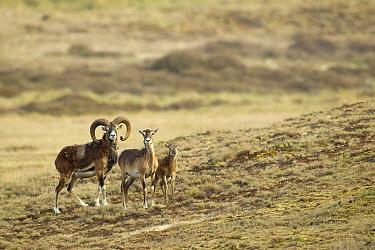 Mouflon (Ovis orientalis) family, Veluwe, Netherlands  -  Rene Visser/ Buiten-beeld