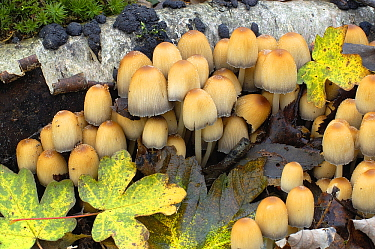Gill Mushroom (Coprinellus truncorum) group, Netherlands  -  Wil Meinderts/ Buiten-beeld