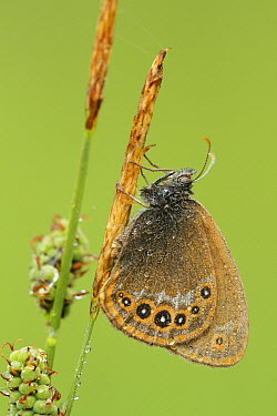 Scarce Heath (Coenonympha hero) butterfly covered with dew drops, Germany  -  Jordi Strijdhorst/ Buiten-beeld