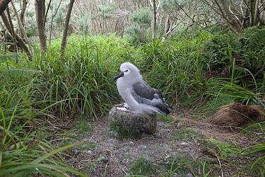 Yellow-nosed Albatross (Thalassarche chlororhynchos) chick on nest, Nightingale Island, Tristan Da Cunha, Atlantic Ocean  -  Lex van Groningen/ Buiten-beeld