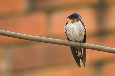 Angola Swallow (Hirundo angolensis), Uganda  -  Luc Hoogenstein/ Buiten-beeld