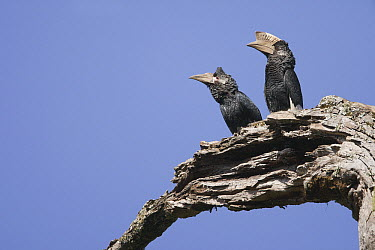 Grey-cheeked Hornbill (Bycanistes subcylindricus) female and male, Uganda  -  Luc Hoogenstein/ Buiten-beeld
