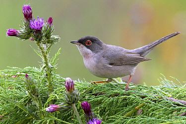 Menetries's Warbler (Sylvia mystacea) male, Igdir, Turkey  -  Daniele Occhiato/ Buiten-beeld