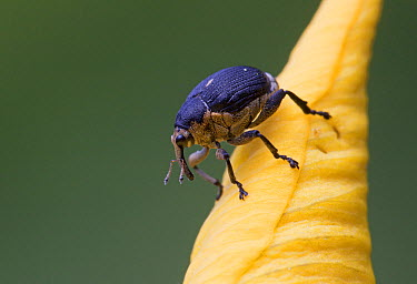 True Weevil (Mononychus sp) on flower, Rijssen, Netherlands  -  Arjan Troost/ Buiten-beeld